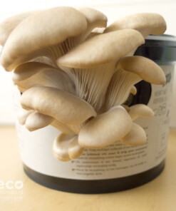 growkit oesterzwammen