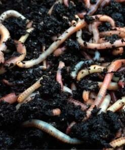 compostwormen